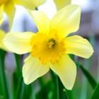 Narcissus, narcis, narcisme: wat betekent dat eigenlijk?