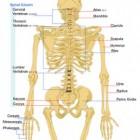Tips voor het leren van de spieren van het menselijk lichaam
