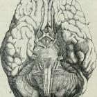 Onze hersenhelften: elk zijn specifieke eigenschappen