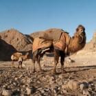 Wat zijn de verschillen tussen een kameel en dromedaris?