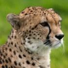 De cheeta, het snelste roofdier op aarde